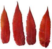 Красная осень завода лист стоковые изображения rf
