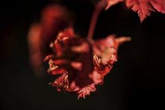 Красная осень кленового листа лист осени Стоковые Изображения RF