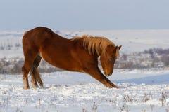 Красная лошадь в поле снега Стоковое фото RF
