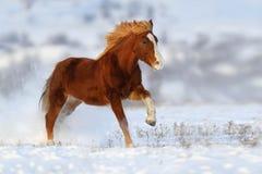 Красная лошадь, который побежали в снеге стоковое фото