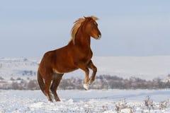 Красная лошадь поднимая вверх Стоковое Изображение RF