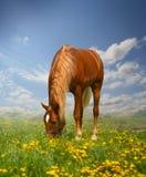 Красная лошадь стоковое изображение rf