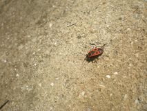 Красная ошибка & x28; в латинском - apterus& x29 Pyrrhocoris; стоковое фото