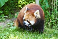 Красная панда в зоопарке Онтарио Канаде Торонто стоковые изображения rf