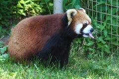 Красная панда в зоопарке Онтарио Канаде Торонто стоковое фото