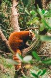 Красная панда в зоопарке стоковое изображение rf