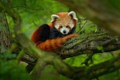 Красная панда лежа на дереве с зелеными листьями Милый медведь панды в среду обитания леса Сцена живой природы в природе, Чэнду,  Стоковое Изображение