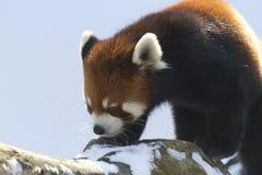 Красная панда на ветви стоковое фото rf