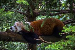 Красная панда ослабляя на ветви стоковое фото rf