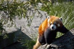 Красная панда Стоковые Фотографии RF