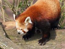 Красная панда на портрете крупного плана хобота стоковое изображение rf