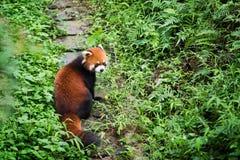 Красная панда на пути в лесе Стоковые Фотографии RF