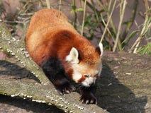Красная панда на стволе дерева стоковые изображения