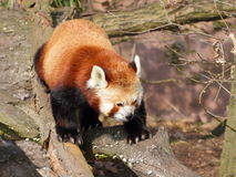 Красная панда на стволе дерева стоковое фото