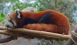 Красная панда отдыхая на поддержке сделанной человеком бамбуковой стоковая фотография rf