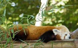 Красная панда Стоковое Фото