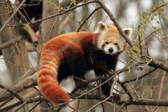 Красная панда Стоковое Изображение RF