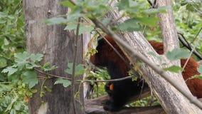 Красная панда сток-видео