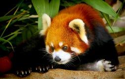 Красная панда Стоковые Изображения