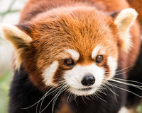 Красная панда VII Стоковое Фото