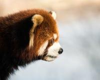 Красная панда XII Стоковые Фото
