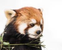 Красная панда XV Стоковое Изображение