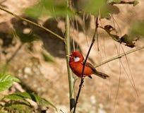 Красная певчая птица поя Стоковое фото RF
