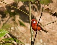 Красная певчая птица Стоковые Изображения