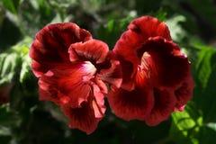 Красная пеларгония цветка на closeupЯ солнечного дня стоковое изображение rf