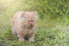 Красная персиянка котенка Стоковая Фотография RF
