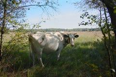 Красная пестрая корова на выгоне коровы около леса Стоковая Фотография