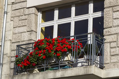 Красная пеларгония Стоковая Фотография
