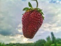 красная помадка клубники Стоковое Фото