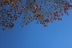 Красная предпосылка кленовых листов в сезоне осени стоковая фотография