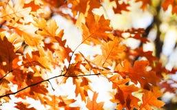 Красная предпосылка листвы осени дуба Оранжевые коричневые листья, сцена парка солнечного дня взгляд макроса, малая глубина поля стоковое фото