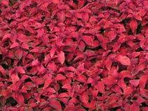Красная предпосылка листьев Стоковые Фото