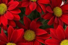 Красная предпосылка цветка Стоковая Фотография RF