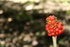 Красная предпосылка ягод Стоковые Изображения