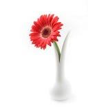 Красная предпосылка белизны Gerbera Стоковые Фотографии RF