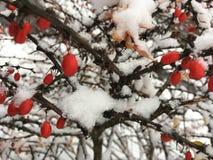 Красная предпосылка природы рождества ягод зимы с космосом экземпляра Стоковое Изображение RF