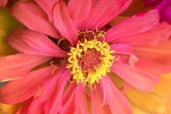 Красная предпосылка цветка zinnia Стоковая Фотография RF