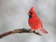 Красная птица в зиме стоковое фото rf