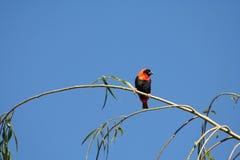 Красная птица епископа Стоковая Фотография RF