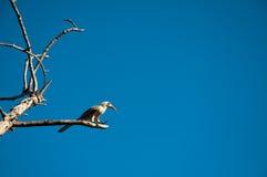 Красная птица клюва на дереве от Южной Африки Стоковые Фотографии RF