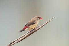 Красная птица Avadavet [amandava Amandava] Стоковая Фотография