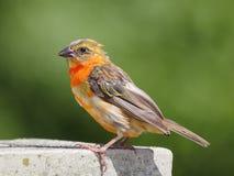 Красная птица Fody Стоковые Изображения