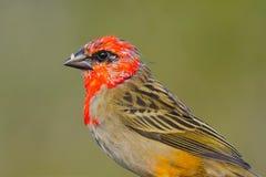 Красная птица Fody Стоковое Изображение