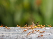 Красная работа команды муравья, зеленый муравей дерева, муравей ткача Стоковые Изображения
