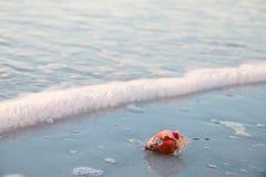 Красная раковина помыла прочь волной на пляже Стоковая Фотография
