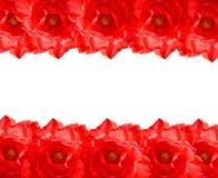 Красная рамка Rose Стоковое Изображение RF